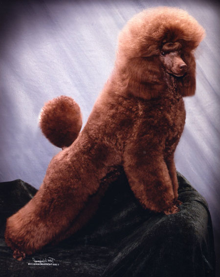 Miniature Poodles - Amity Valley Kennels
