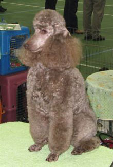 Miniature Poodles Amity Valley Kennels