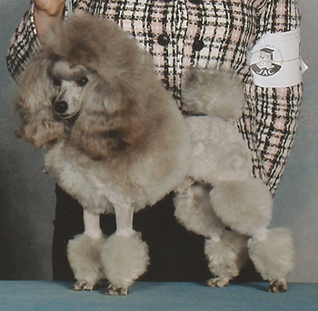 Toy Poodles - Amity Valley Kennels